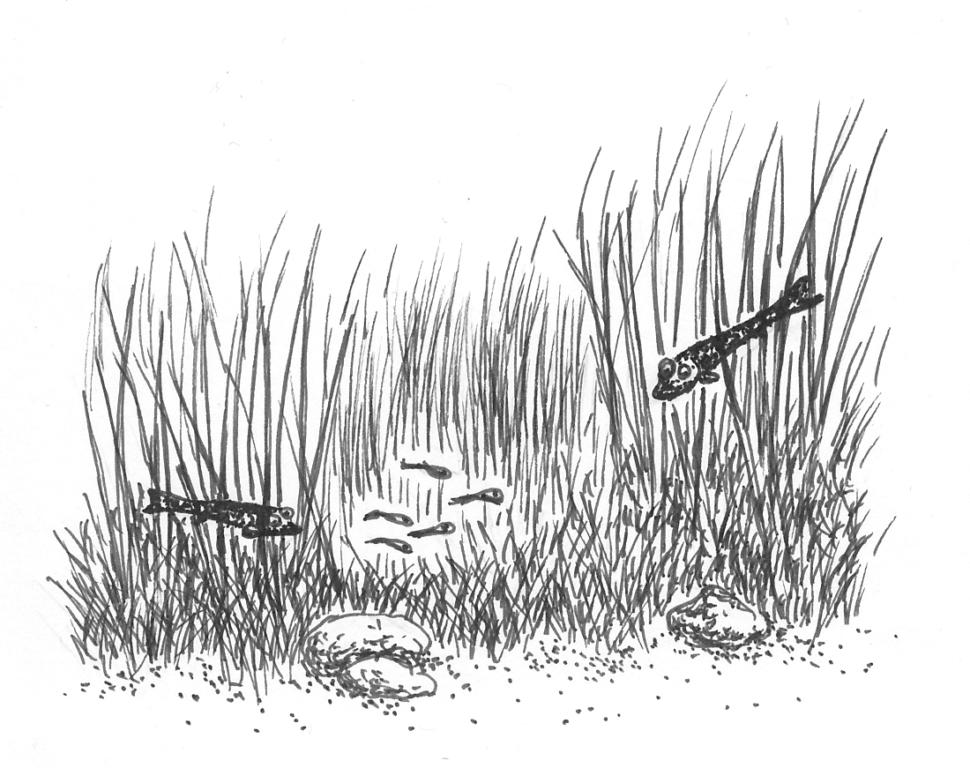 Kosteikko tarjoaa ruokaa hauenpoikasille