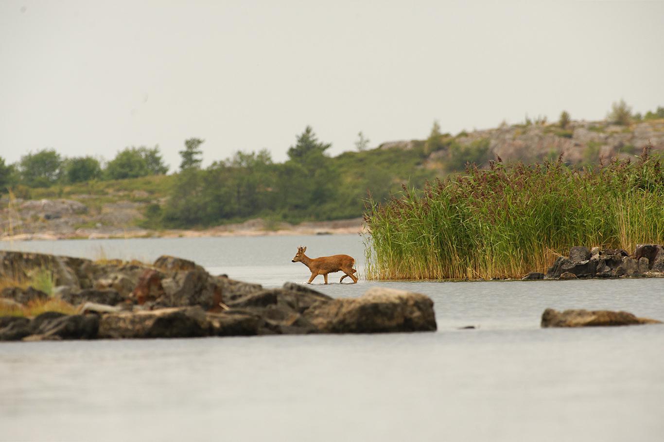 Metsäkauris. Kuva: Raimo Sundelin