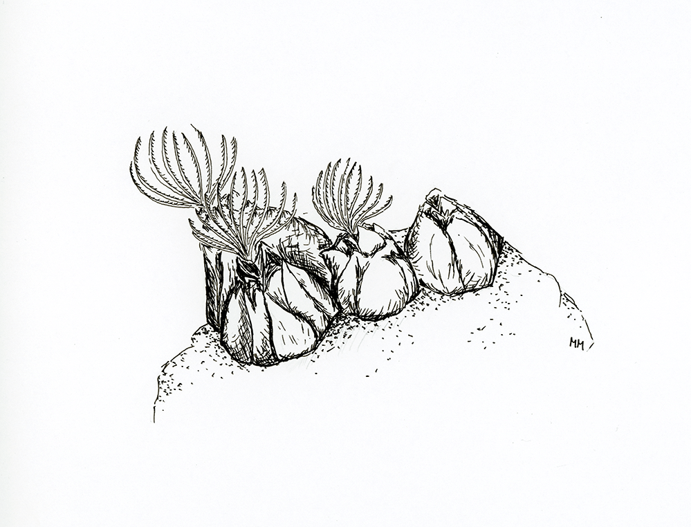 Piirretty kuva merirokosta