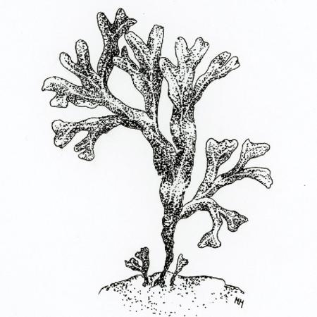 Piirretty kuva rakkohaurusta